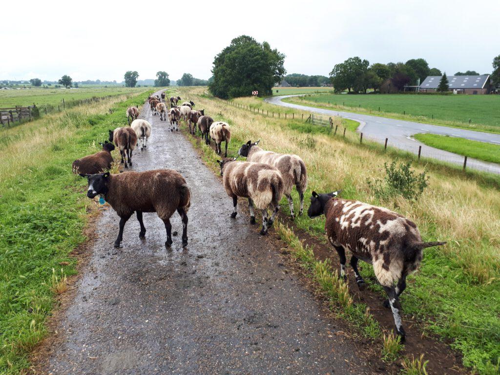 Langs de Maas in een druilerige motregen, se schapen hadden er lak aan.